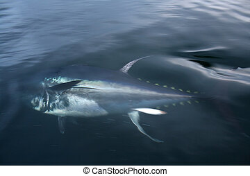 blue fin tuna swimming in the atlantic ocean