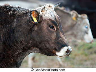 cow portrait - brown cow profile over out of focus light...
