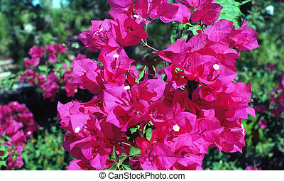 Bouganvilla flowers on a green background - 26 megapixel...