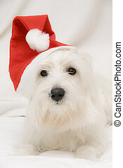 Whats up - A west higland white terrier dressed like a Santa...