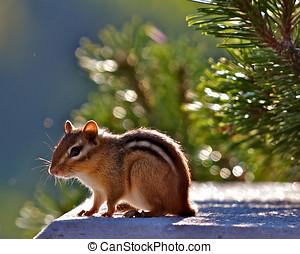 Adult Chipmunk Back light - Adult Chipmunk enjoying the sun...
