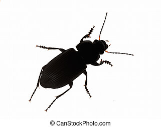Silhouette Common black ground beetle against white...