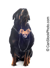 rottweiler and puppy chihuahua - portrait of a purebred...