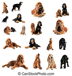 cocker spaniel - portrait of a group of purebred cocker...