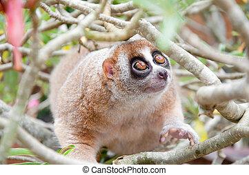 Slow loris - a picture of a cute slow loris monkey animal in...