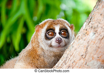 slow loris - a picture of a cute slow loris monkey animal in...