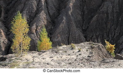 autumn birch trees on sand hills - sand canyon with yellow...