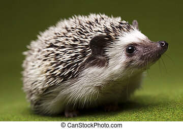 Hedgehog - A hedgehog is any of the small spiny mammals of...