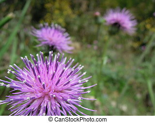 Thistle - Close-up photo