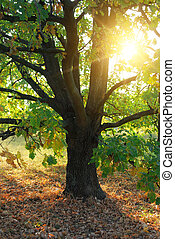 oak tree and sun rays - oak tree and evening sun rays in...
