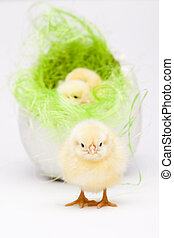 Young Chick Portrait - Young Chicks