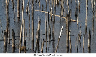 dead forest, trees trunks stand in the water