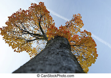 looking up to maple tree