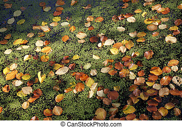 beech leaves and lesser duckweed - colourful beech leaves...
