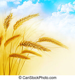 Wheatfield - Beautiful border. Wheatfield. Close-up wheat...