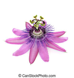 Passion Flower - Purple passion flower isolated over white...