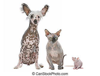 Naked Dog,Cat and Rat - Naked cat,dog and rat in front of a...