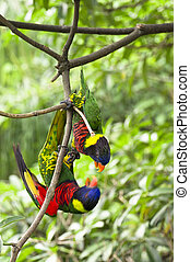 Rainbow Lory - Parrot- a pair of Rainbow Lory playing while...