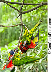 Rainbow Lory - Parrot- a pair of Rainbow Lory playing...