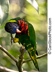 Rainbow Lory - a curious Rainbow Lory standing on a tree...