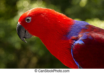 colorful Lory- parrot - Extreme close up of a curious Red...