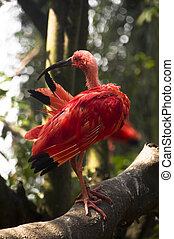 Scarlet Ibis - Wet Scarlet Ibis bird drying itself while...