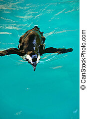 penguin swimming in crystal clear cyan water