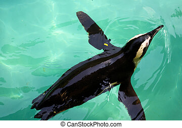 swimming penguin - penguin swimming in crystal clear cyan...