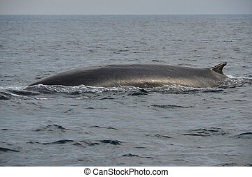 Fin Whale - Fin whale swimming on the surface of the Pacific...