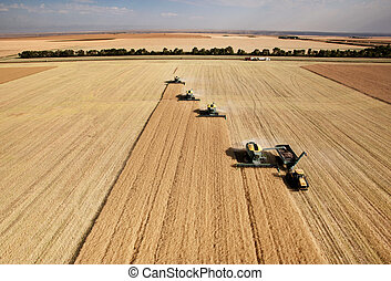 Aerial View of Harvest - Four harvesters combing on a...