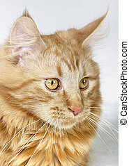 Maine Coon kitten portrait - portrait of a red Maine Coon...