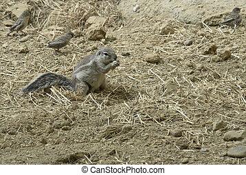 Xerini - ground squirrel species named Xerini in natural...