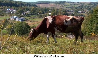 cow 18 - cow in the pasture