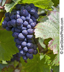 bunch of red grapes - outdoor shot showing a bunch of red...