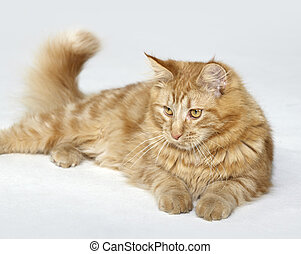 red Maine Coon kitten - red Maine Coon Kitten resting on the...
