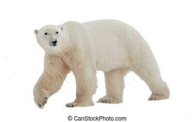 Polar bear - Polar Bear isolated on the white background