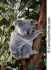 Koala in Tree - Koala in a gum tree in Australia