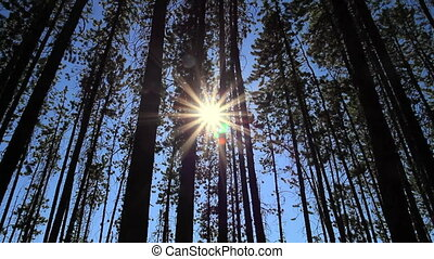 Pine Forest and Sun 01