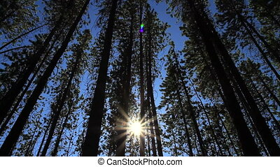 Pine Forest and Sun 02
