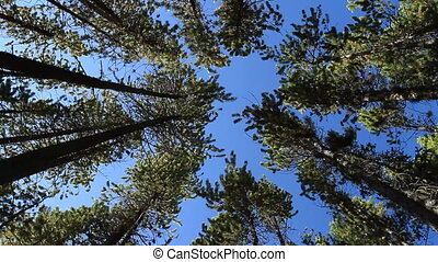 Pine Forest and Wind 04