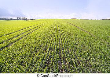 Germinación, trigo, campo