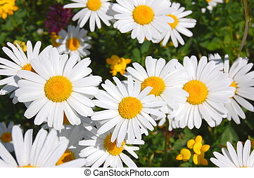 field of daisies - a shot of a beautiful field of daisies...