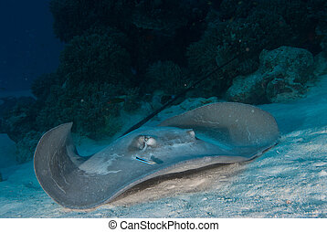 Stingray approach - A close up on a stingray on the ocean...