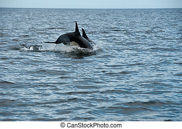 Diving dolphins - The view of dolphins jumping from out the...