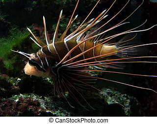 orange and white Lionfish - a sideways shot of a Lionfish in...