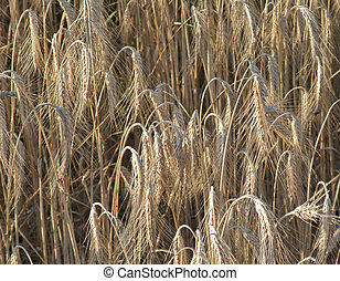 full frame barley detail - detail of a barley field ready to...