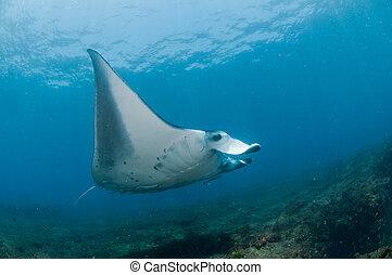Flight of the mantaray - View of a mantaray swimming along a...