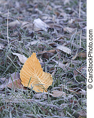 The turned yellow leaf on the grass covered with hoarfrost