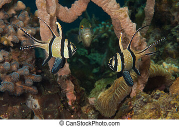Courtship - The view of cardinal fish doing the mating...