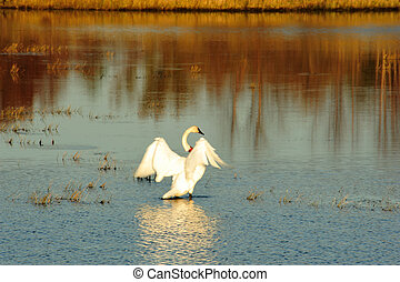 Beautiful Tundra Swan Wings - Beautiful Tundra Swan with...